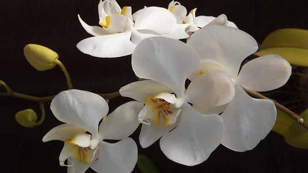 Orquidea,