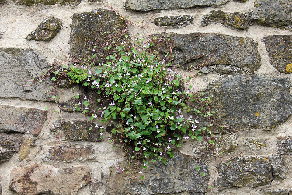 植物, 壁, 花, ダルシマー ハーブ, 青, バイオレット, 紫, Zymbelkraut