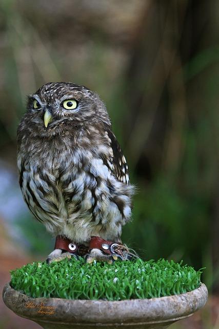 Gratis Foto Roofvogel Vogels Natuur Uil Gratis