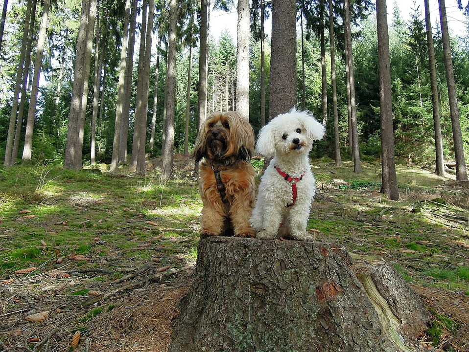 Perros, Perro, Dos, Bosque, Sentado, Árboles