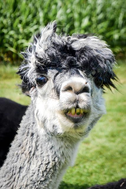 Free Photo Llama Alpaca Funny Green Smile Free