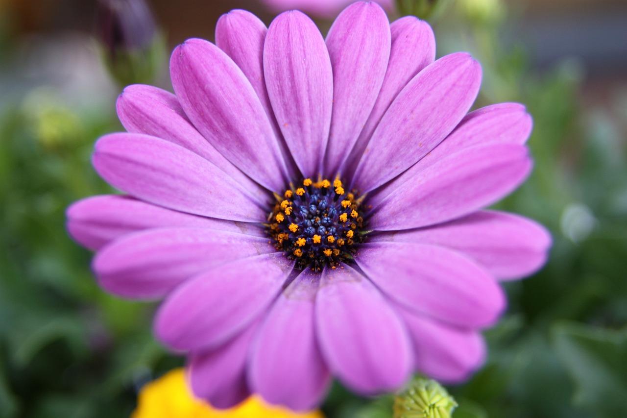 紫菊和墨菊的区别