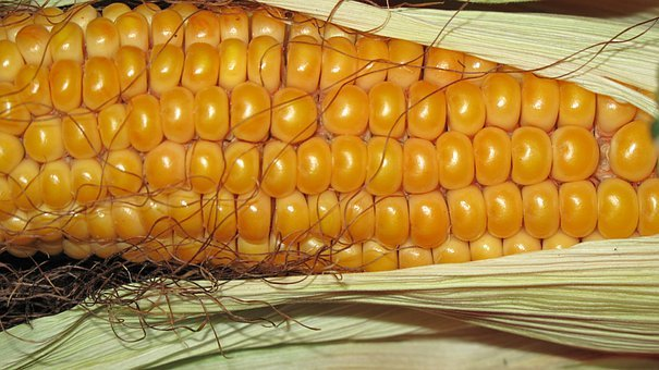 Corn, Grain, Corn On The Cob, Autumn