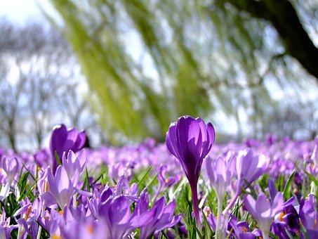 花, クロッカス, スプリング, 公園, 花の海, ラインパーク, ライン草原
