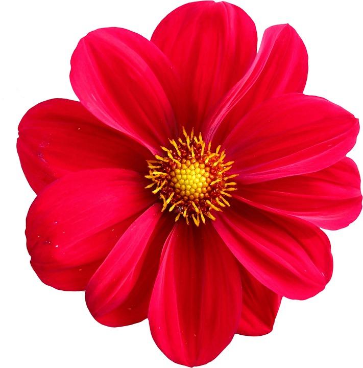Gratis illustratie: Dahlia, Bloesem, Bloem, De Natuur ... Zinnia Flower Drawing