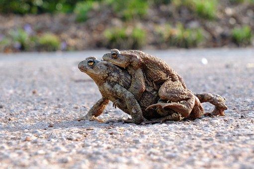 カエル, ヒキガエル, 両生類, カップル, 老夫婦, 古いものと弱い, 脱出、