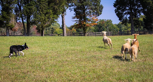 Border Collie Sheep Herding 183 Free Photo On Pixabay