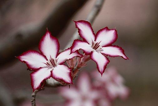 Flower, Impala Lily, Floral, Plant