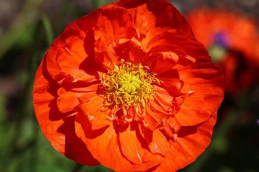 Fleur, Orange, Pavot, Pavot D'Islande