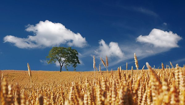 Field, Cereals, Summer, Sun, Sunshine