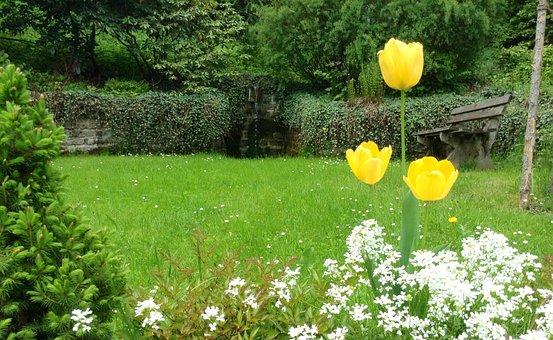 Tulipanes, Amarillo, Flores, Jardín, identificar plantas por sus caracteristicas