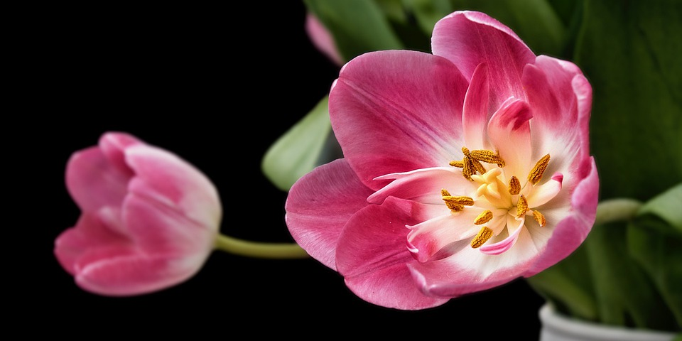 tulip, flower  free images on pixabay, Beautiful flower