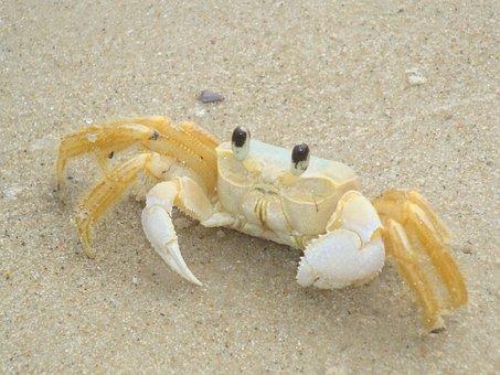 Crab, Crustacean, Claw, Marine