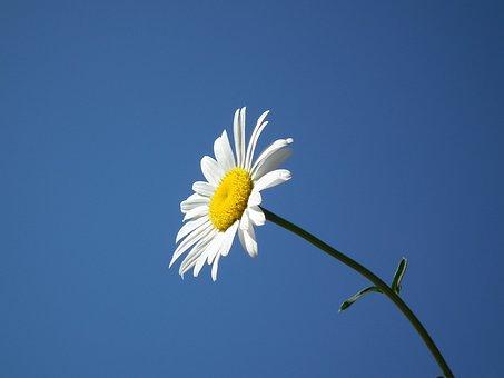 Flower, Bloom, White, Summer, Daisy
