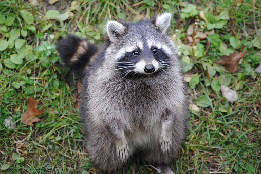 Raccoon Animal Cheeky Raccoon Raccoon Racc