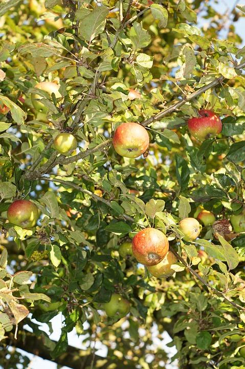 苹果树, 苹果, 叶子, 水果, 健康, 新鲜, 秋季图片