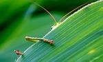grasshopper, green