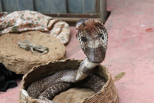 Cobra Images Pixabay Download Free Pictures