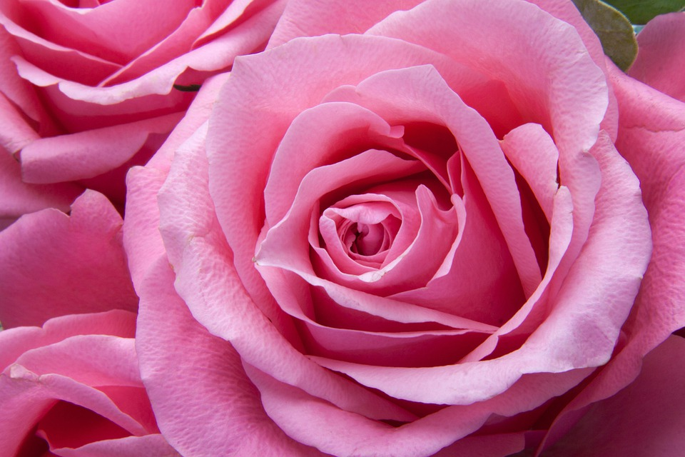 Roses pink family rose free photo on pixabay roses pink family rose family flora plant tender mightylinksfo