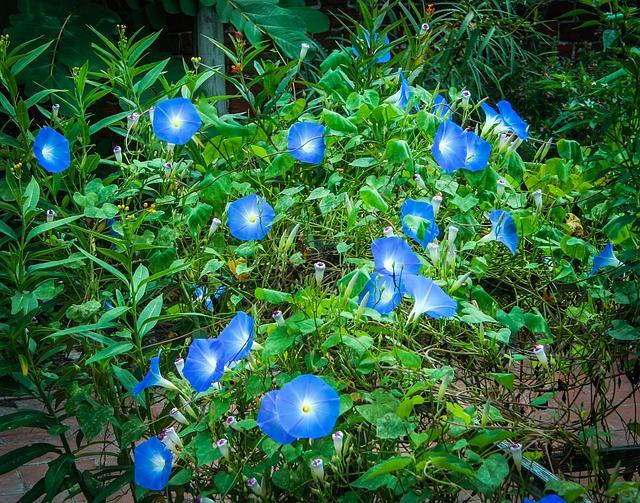 Free Photo Heavenly Blue Morning Glory Free Image On