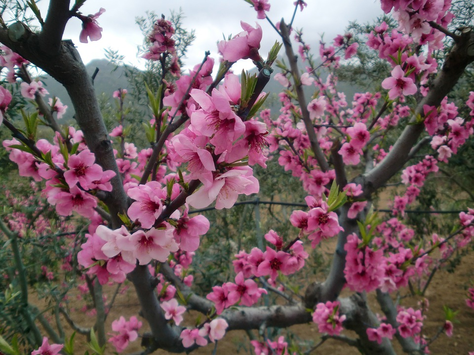 flowers almond tree pink free photo on pixabay