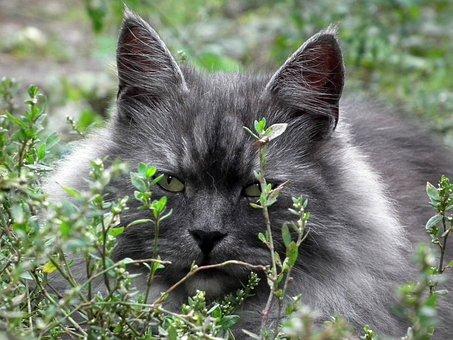 Cat, Siberian, Portrait, Cat'S Eye, Cute