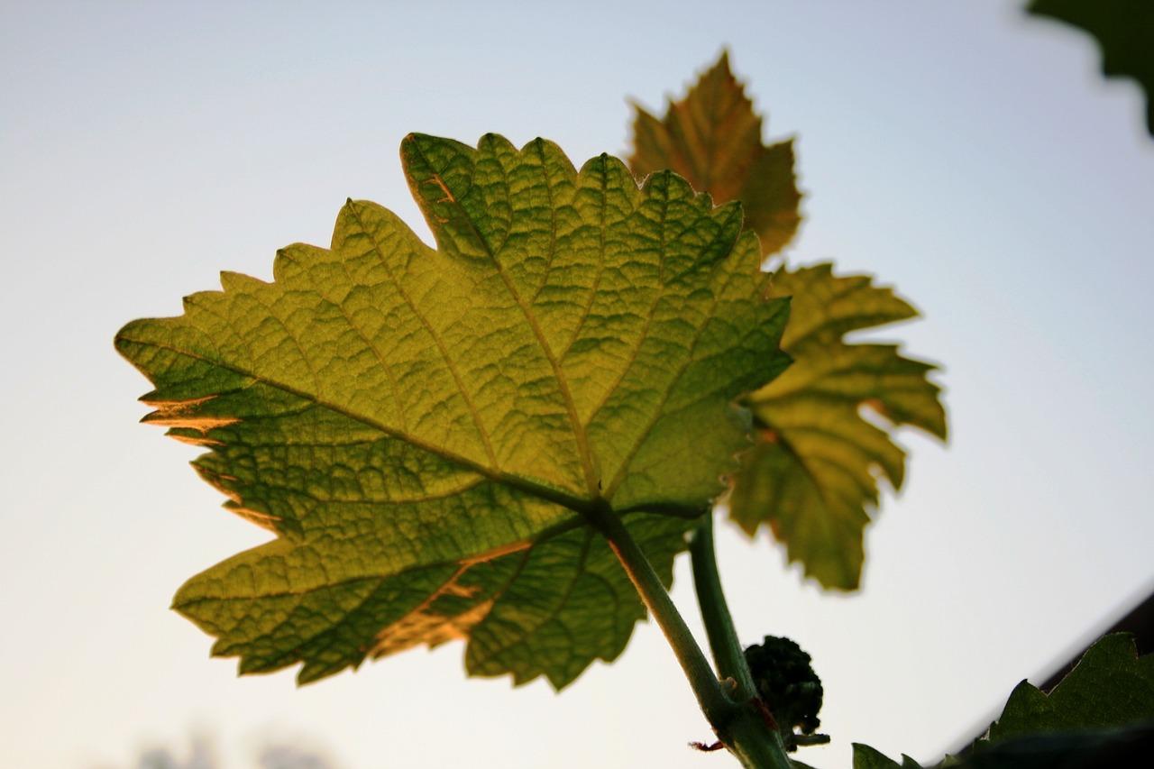 рассказывали, что фото листа винограда общий дар