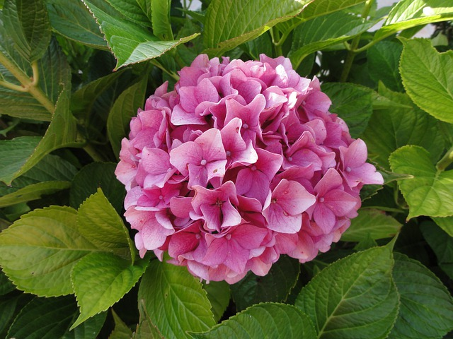 Hydrangea pink flowers free photo on pixabay mightylinksfo