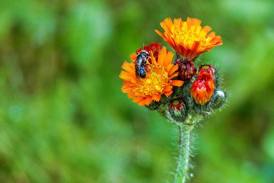 Free Photo Orange Red Hawk Weed Wild Flower Free