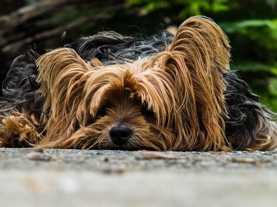 Koira, Yorkshire Terrieri, Laiskan Koiran