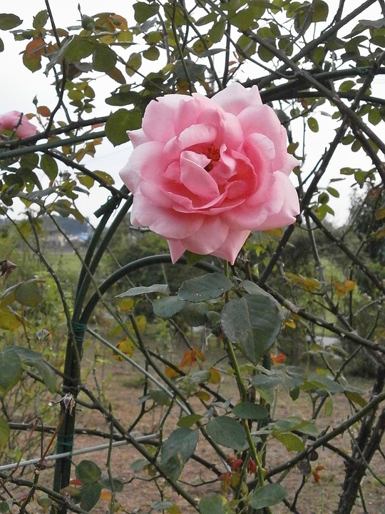 Foto gratis: Rose, Flor Rosa, Jardim De Rosas - Imagem ...