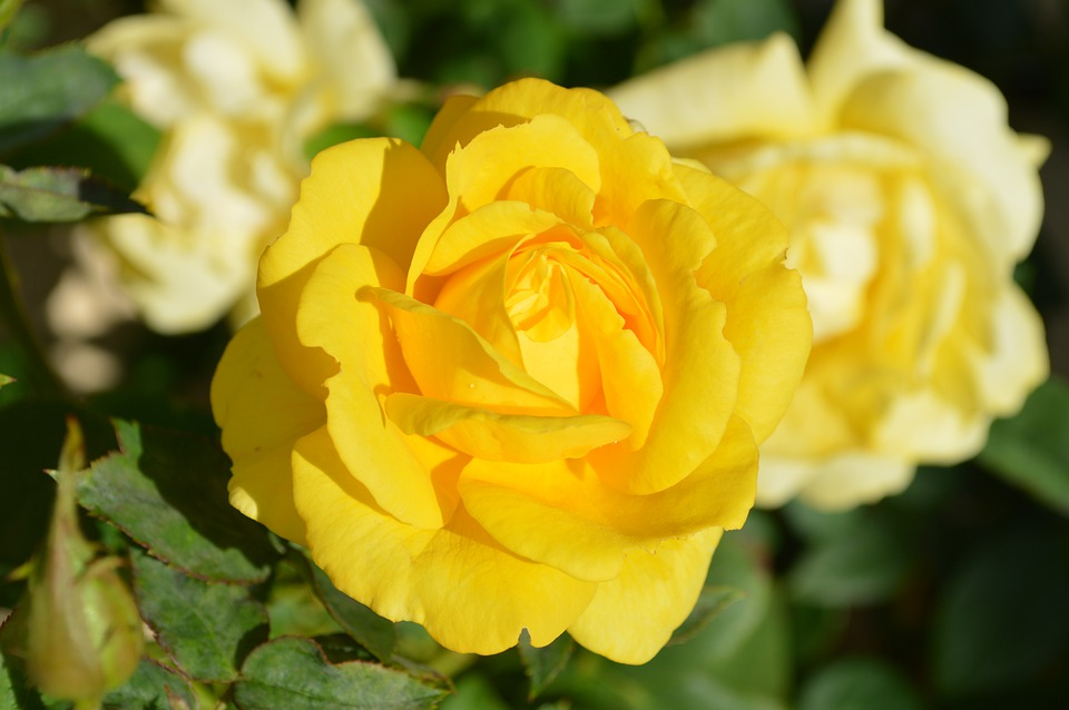 Yellow Rose Flower · Free Photo On Pixabay