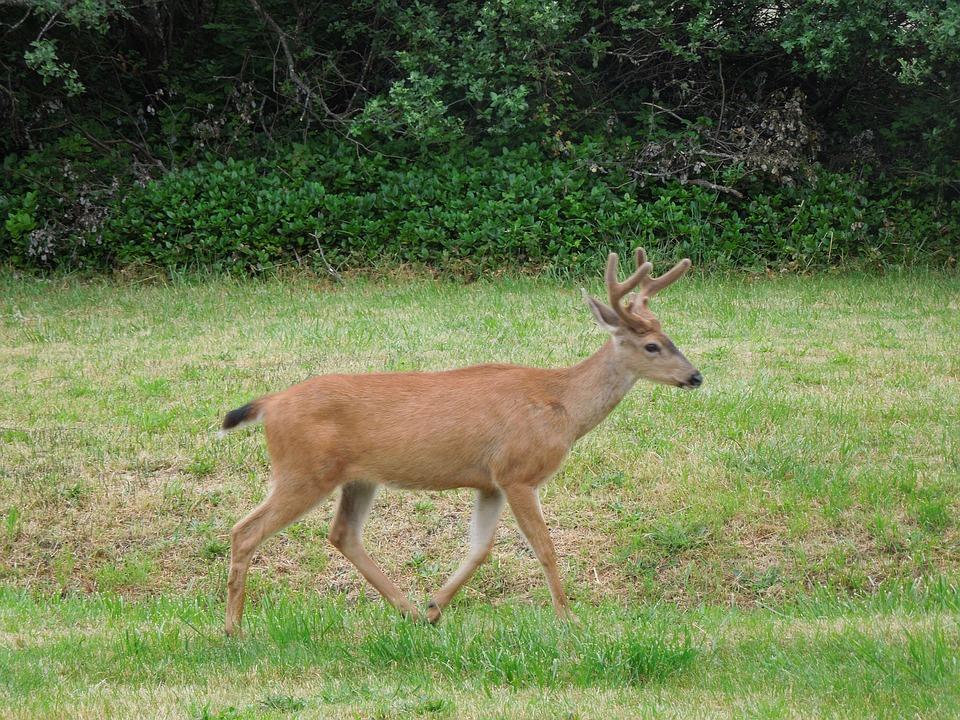 Deer Running Field Nature · Free photo on Pixabay