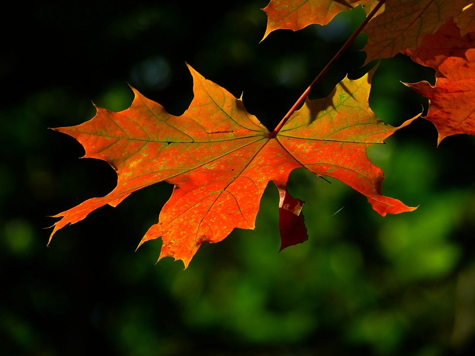 Labels Red Autumn Leaves Photography Hd Wallpapers For: Free Photo: Autumn, Leaf, Colorful, Leaves