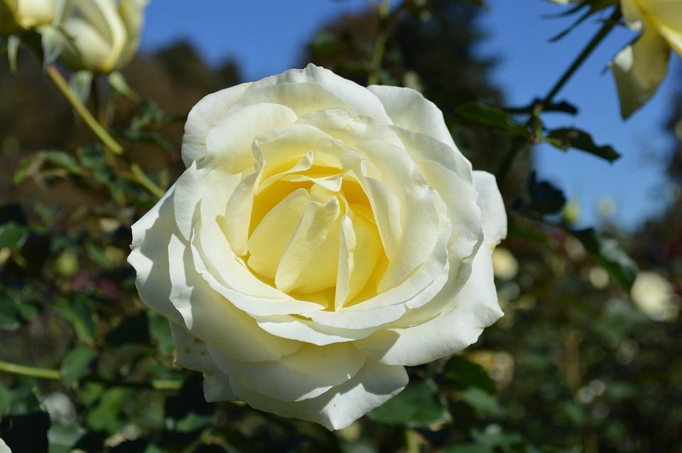 White rose close up flower free photo on pixabay white rose close up flower romance floral love mightylinksfo