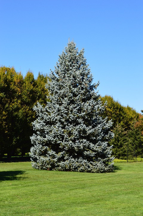 Spruce, Tree, Blue Spruce, Conifer, Coniferous