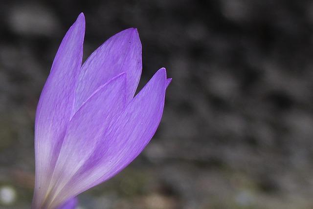 Осенние цветы фиолетовые