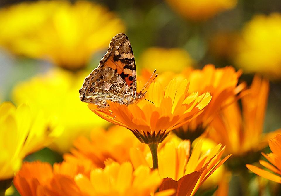 Бабочка, Желтый, Насекомое, Природа, Животных, Макрос