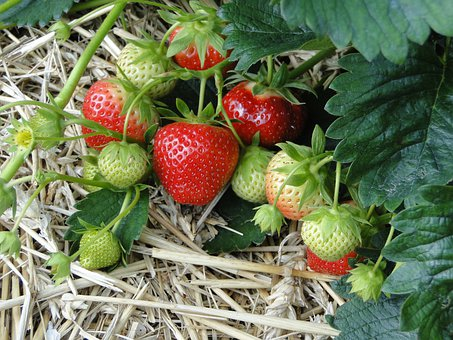 Strawberries, Red, Sweet, Plant, Field