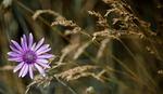 immortelle, wildflower