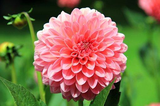 Flower, Dahlia, Blossom, Bloom, Plant