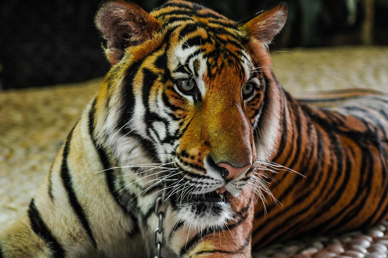 вам картину тигр и кот фото экскурсий осенью очень