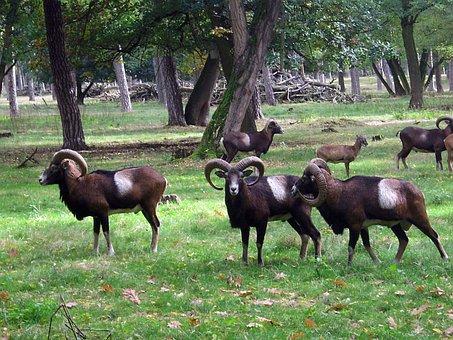 Muflon, Sheep, Goat, Horns, Wild, Flock