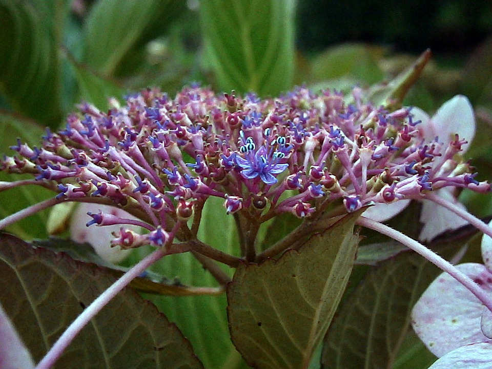 free photo hydrangea, purple, white, flowers  free image on, Natural flower