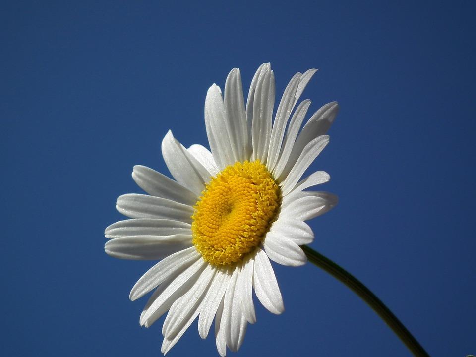 Fiore, Margherita, Bianco, Fiori, Giorno, Cielo, Giugno