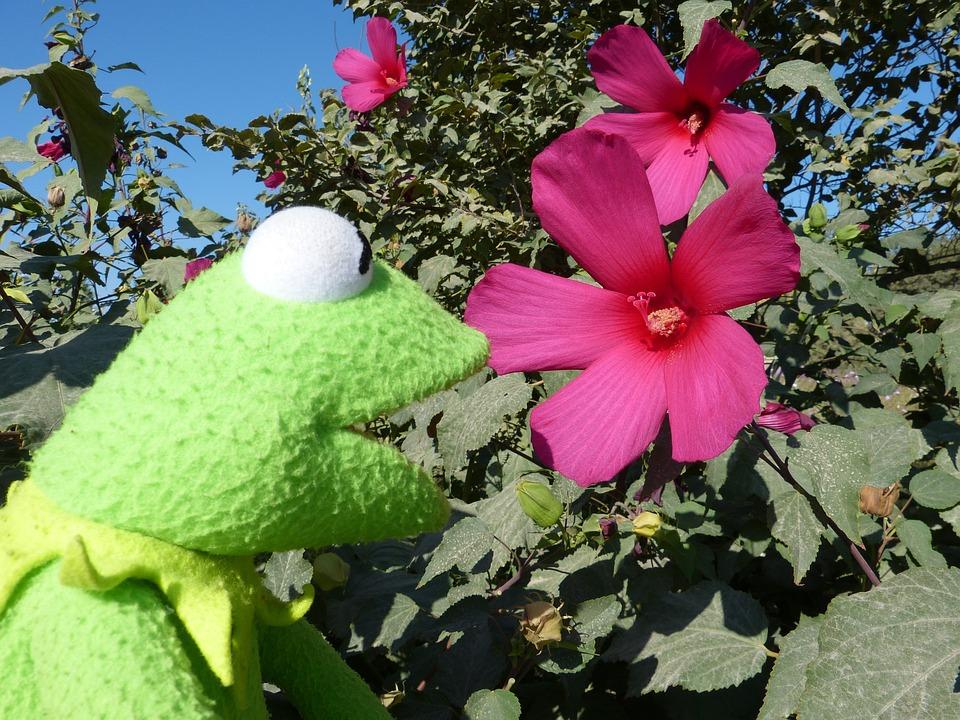 photo gratuite: hibiscus, rose, fleur, plantes - image gratuite