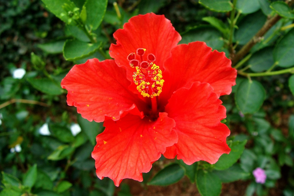 hibiscus red flower rosa 183 free photo on pixabay