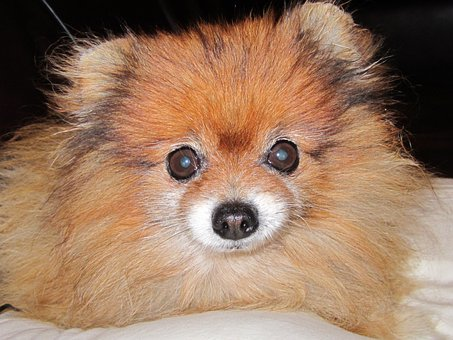Pomeranian, Orange Color