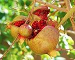 pomegranates, fruit, passion