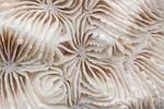 coral mózgu, twardych koralowców, konstrukcja szkieletowa